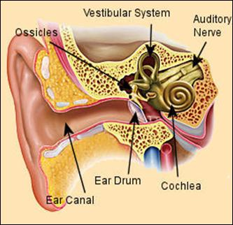 Ear drum and ear canal.